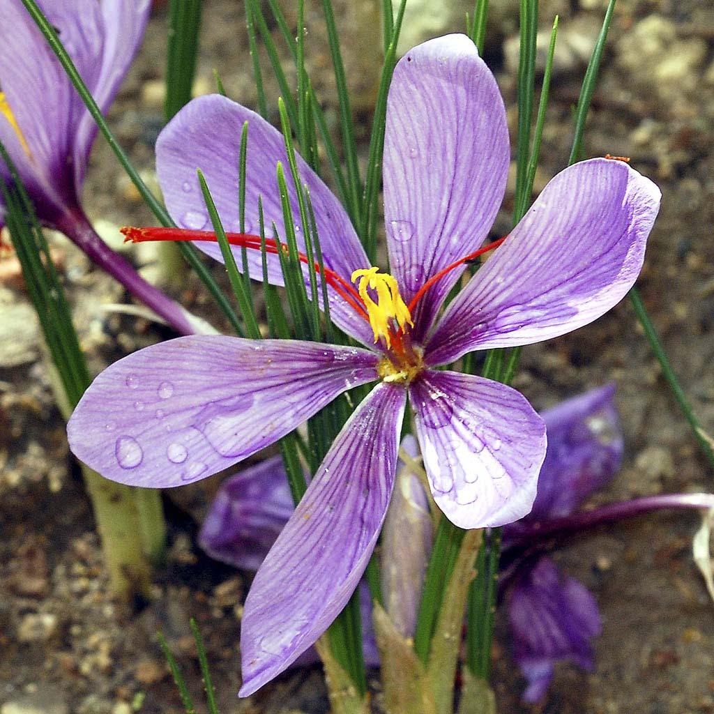 تشخیص زعفران اصل