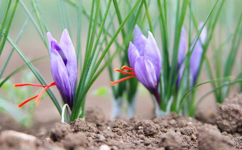 درمان فشارخون بالا با زعفران