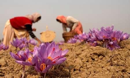 زعفران صادراتی ایرانی
